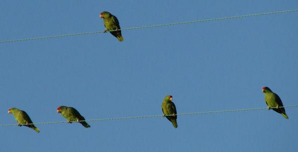 Ocean Beach Parrots