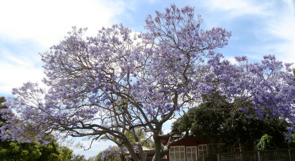 2010_0602_jacaranda