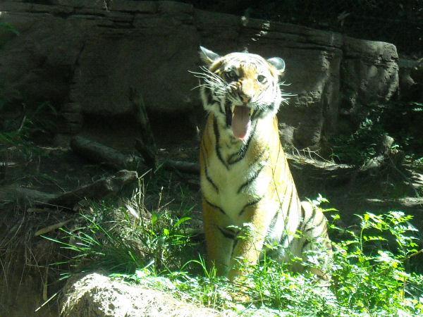 Elana's Tiger