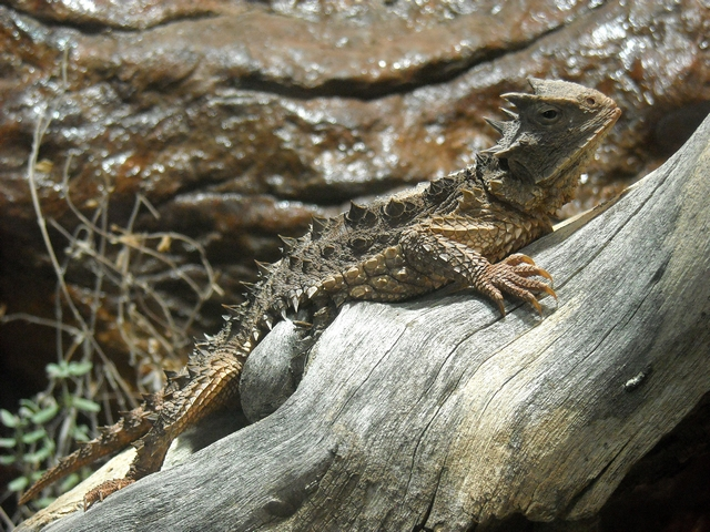 Great Horned Lizard