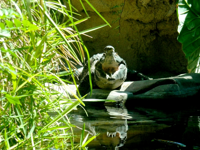 Hungry, Angry Croc!