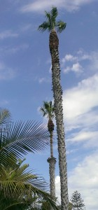 Shaved Palm Trees