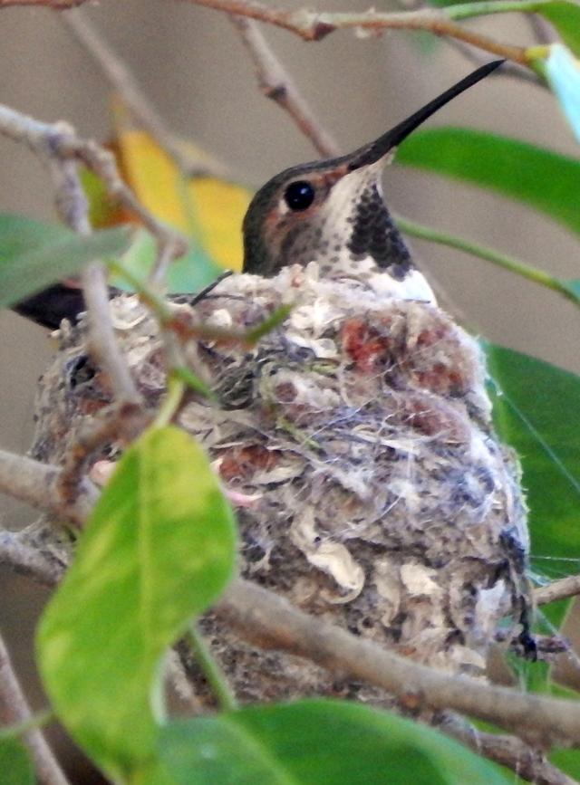 2016_0216_Hummingbird_Hen_640