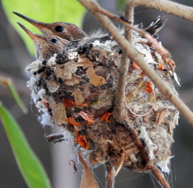 Nesting Baby Hummingbirds